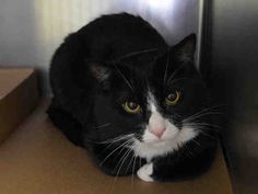 """PRINCE - A1036171 - - Manhattan  ***TO BE DESTROYED 05/16/15*** """"FRIENDLY, AFFECTIONATE"""" TUXIE KITTEN PLAYS FETCH, IS GREAT WITH KIDS, & LOVES BATHS – ALTHOUGH HE'S PERFECTLY HEALTHY, THE ACC WILL KILL HIM BECAUSE HE'S AFRAID – PLEASE GRANT PRINCE A DEATH ROW PARDON!!! Stunning tuxie kitten PRINCE, just 20 months old, was betrayed and dumped into the kill-happy ACC when his old owner moved to new cat-free digs."""