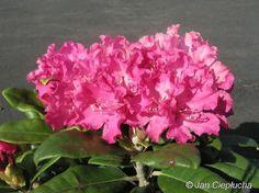 Hellikki Fioletowo soczysty różowo-czerwony
