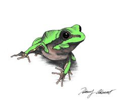henridrawsfrogs:  I'm really into art, specifically scientific illustration. This is a drawing of a Pine Barrens Tree Frog. These guys live in in swampy and boggy habitat in three disconnected populations in the eastern United States: in New Jersey, in the sand hills of the Carolinas, and around southern Alabama and the Florida panhandle. Because of the disjointed nature of their small ranges and their pickiness with habitat, this species is incredibly vulnerable to habitat degradation.