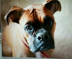 """The handsome boxer """"Caine"""""""