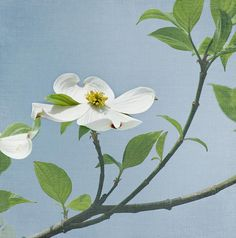 Dogwood Blossoms by Kim Hojnacki
