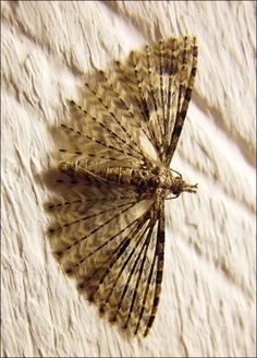 Plume Moth These tiny little moths have feather-like wings. This one was hanging out on the wall above my computer one evening. Beautiful Bugs, Beautiful Butterflies, Beautiful Creatures, Animals Beautiful, Venezuelan Poodle Moth, Fauna Marina, Cool Bugs, Interesting Animals, Butterfly Photos