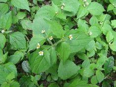 Żółtlica drobnokwiatowa Galinsoga parviflora