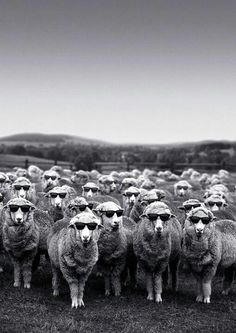 New Zealand sheep - cooler than the rest!