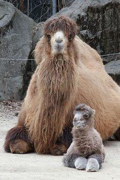 Cincinnati Hayvanat Bahçesi'nde anne ve bebek.