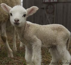 Lamb baby, so sweet 😊❤️ Animal babies Photography pictures and photos – Anna Stein - Baby Animals Baby Farm Animals, Baby Sheep, Sheep And Lamb, Animals And Pets, Funny Animals, Cute Animals, Animal Babies, Beautiful Creatures, Animals Beautiful