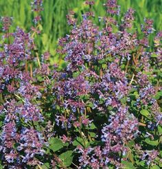 Herb Catmint D2921A (Purple) 500 Open Pollinated Seeds by David's Garden Seeds David's Garden Seeds http://www.amazon.com/dp/B00EAE6A4W/ref=cm_sw_r_pi_dp_DJFQub1R1F5J3