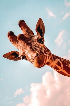 Cute Wild Animals, Baby Animals Super Cute, Cute Baby Dogs, Baby Animals Pictures, Cute Animal Photos, Cute Little Animals, Cute Funny Animals, Animals Beautiful, Funny Giraffe Pictures