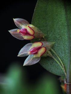 Lepanthes species by Daniel-CR, via Flickr
