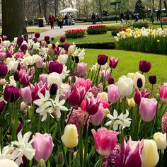 Tulip Bulbs - Delightfully Dutch Mix - - View All Bulbs - Flower Bulbs - Gardening Sutton Seeds, Tulip Bulbs, Garden Bulbs, Bulb Flowers, Planting Flowers, Tulips, Dutch, Harvest, Home And Garden