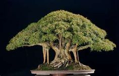 Bonsai in Bloom These are small trees. Culture of growing bonsai tree is a very long time - the Japanese were engaged in this century. Ficus Bonsai Tree, Bonsai Tree Types, Bonsai Plants, Bonsai Garden, Garden Trees, Wisteria Bonsai, Bonsai Pruning, Japanese Bonsai Tree, Willow Leaf