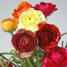 """""""Picotee Mixed"""" ranunculus includes some nice brown tones"""