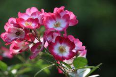 Les rosiers Eglantia® intropi sont des variétés couvre sol intéressantes pour limiter l'entretien du jardin. ©Arnaud Childeric Belle Plante, Flowers, Gardens, Beautiful Roses, Garden Care, Rose Trees, Tips And Tricks, Royal Icing Flowers, Flower