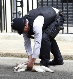 This is David Cameron's cat Larry being pick up off the road outside 10 Downing Street. How lazy is Larry?