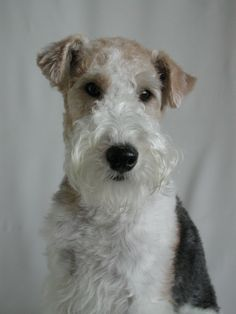 wire fox terrier cocoa