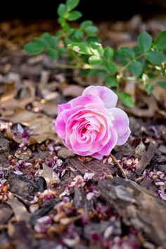 Roses in the garden - plant yourself some happiness! | An Infatuation With Spring