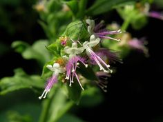 Patchouli flowers come in so many varieties...I wonder if they used this type in the Cashmere Woods Glade Wax Melts?