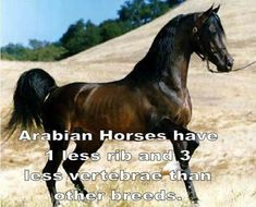 Abyssinian Horse Breeds Horse Breeds Abyssinian PONY OVERVIEW Out there info on this breed seems to become incredibly restricted and . Pet Dogs, Dog Cat, Beautiful Arabian Horses, Arabian Stallions, Horse Facts, Farm Art, Happy Boy, Abyssinian, Horse Breeds