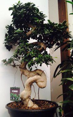 Net een Bonsai, maar het is een Ficus!