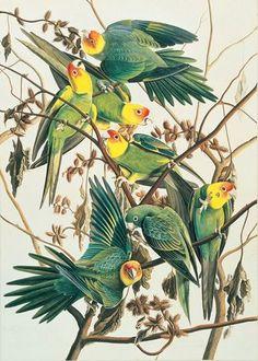Carolina Parakeet (extinct) John James Audubon