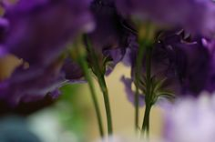 Russell prairie gentian  purple & green
