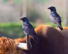 Gralha-de-nuca-cinzenta / Eurasian jackdaw | Flickr - Photo Sharing!