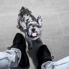 Popular Dog Accessories bulldog bully and image.Popular Dog Accessories bulldog bully and image Merle French Bulldog, French Bulldog Puppies, Cute Dogs And Puppies, I Love Dogs, French Bulldogs, Doggies, French Bulldog Blue, Big Dogs, Cute Funny Animals