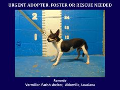 ***SUPER SUPER URGENT!!!*** - PLEASE SAVE REMMIE!! - EU DATE: 3/26/2015 -- Remmie Breed:Chihuahua (mix breed) Age: Young adult Gender: Male Size: Small Location: Kaplan, LA  Read more at http://www.dogsindanger.com/dog/1426609017864#flEiIivs5Bb6hHvy.99 - If you have any questions please contact us at animalaidvermilion@gmail.com or (337) 366-0212 or visit our website animalaidvermilionarea.com for more information Read more at http://www.dogsindanger.com/dog/1426609017864#flEiIivs5Bb6hHvy.99