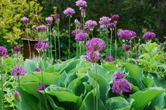 Hostas & Allium. Stunning combination in the garden.