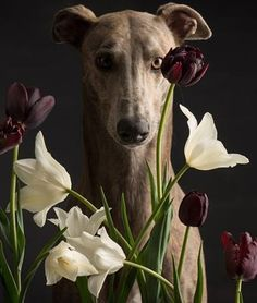 Greyhound - Photographer: Paul Croes
