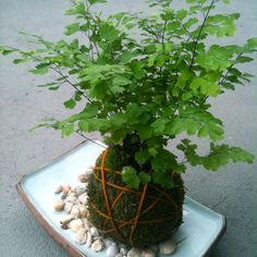 Kokedama Moss ball plant japanese, moss, gardening