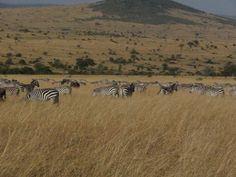 """Zebras form a major part of the migratory herds into Maasai Mara each year, despite it famously being called the """"Wildebeest Migration"""". OTA - Overland Travel Adventures www.ota-responsibletravel.com"""