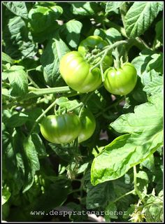 Using aluminum foil to ripen tomatoes