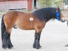 Dølehest stallion Tangen Markus