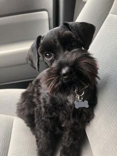 A list of the cutest black miniature schnauzer pictures. Are you in the mood to see some adorable photos of miniature schnauzers? This is a list of some of the cutest black miniature schnauzer photos. Black Schnauzer, Miniature Schnauzer Puppies, Giant Schnauzer, Schnauzer Puppy, Schnoodle Puppy, Bichon Frise, Puppies And Kitties, Cute Puppies, Cute Dogs