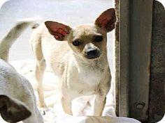 Mesa, AZ - Chihuahua Mix. Meet A3528938, a dog for adoption. http://www.adoptapet.com/pet/11980608-mesa-arizona-chihuahua-mix