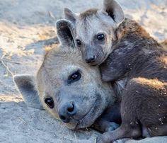 Hyena Cub snuggling up with Mama : hyenas – Monkey Stuffed Animal Animals And Pets, Baby Animals, Cute Animals, Mundo Animal, My Animal, Amazing Beasts, Dangerous Animals, Tier Fotos, Wild Dogs