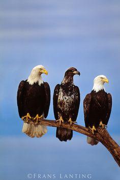 Bald Eagles, adults and juvenile (Haliaeetus leucocephalus) - Alaska -