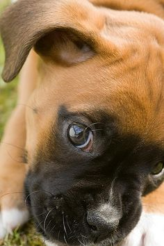 Izzy the boxer puppy 09-05-08 (4 of 17) by Lordy99, via Flickr
