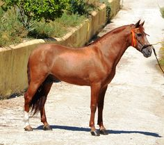 BARRABAS - The Best Spanish Horses - Horses for Sale Direct from Spain