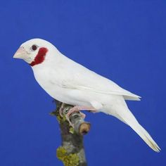 White Cutthroat Finch