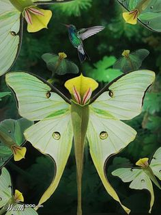 These are pitcher plant moths. Pitcher plants trap insects(including moths)even … These are pitcher plant moths. Pitcher plants trap insects(including moths)even small birds, etc.