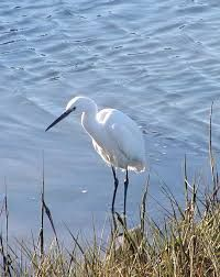 Image result for marsh with egrets