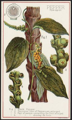File name: 10_03_000027a Binder label: Food Title: Pepper, Piper nigrum [front] Date issued: 1870 - 1900 (approximate) Physical description: 1 print : chromolithograph ; 15 x 9 cm. Genre: Advertising cards Subject: Pepper (Spice); Trees Notes: Title from item. Statement of responsibility: Davis, Sacker & Perkins Collection: 19th Century American Trade Cards Location: Boston Public Library, Print Department Rights: No known restrictions.