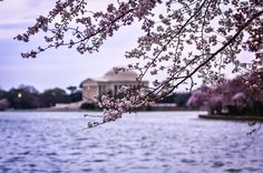 Cherry blossoms near the Jefferson Memorial