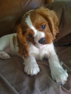Cavalier King Charles Spaniel puppy.... My dream puppy for our 2nd dog