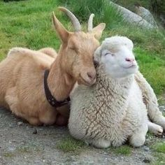 Goat & sheep snuggle