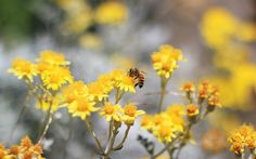 Nature flowers bees yellow (2560x1600, flowers, bees, yellow)  via www.allwallpaper.in