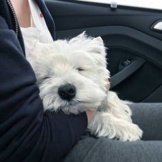 Humans just arrived back at the airport! Take a look at what I did in the car on the way home... To be featuredFollow @westiemoments Use #westiemoments Credit: @kobe_the_westie More