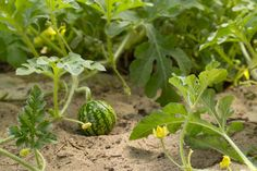 A small watermelon fruit surrounded by its vine Horticulture, Growing Vines, Herbs, Plants, Garden, Growing Plants, Growing, Watermelon Farming, How To Grow Watermelon